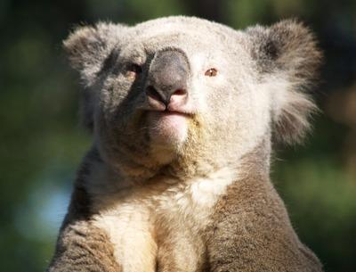 koalann