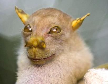 papua-new-guineabat