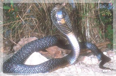 asiatisk kobra