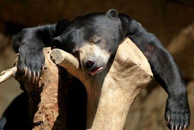 bear-sleep