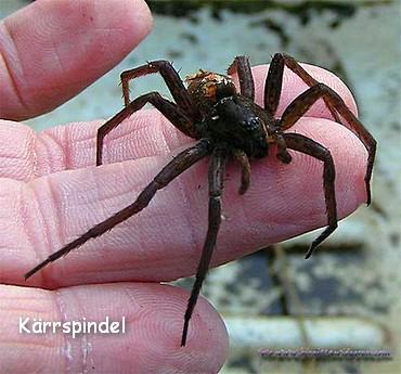 Spindeln blir upp till åtta centimeter i diameter. Den kallas också  Källarspindel cfbf0d3d78233