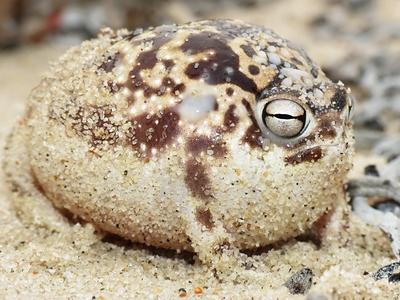 namaqua_rain_frog