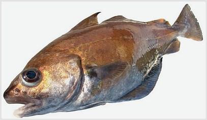 trisopterus_luscus