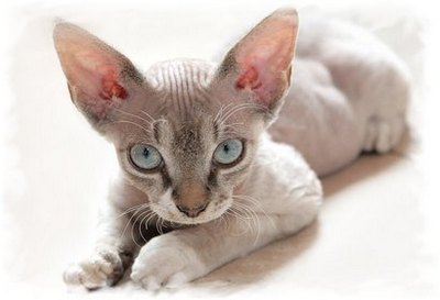 cornish-rex-cat