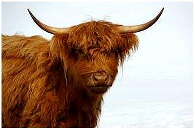 highlandcattle