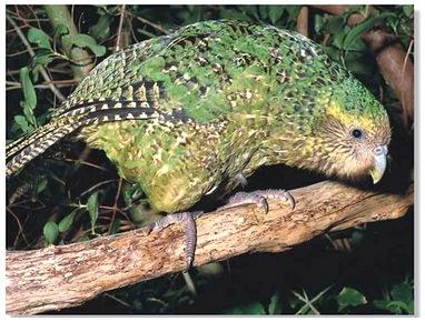 Kakapo11