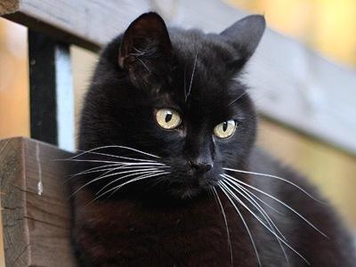 Bombaykatt