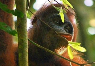 Wild_Orangutang