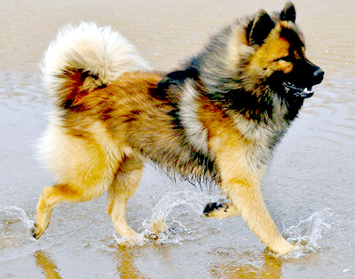 Eurasier-Dog