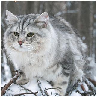 siberian-cat-1