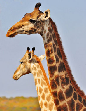 Hur stor är en giraffer penis utnyttjade svarta tonåringar Randi