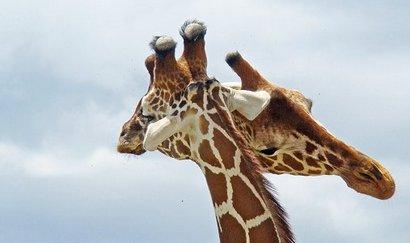 giraff_0