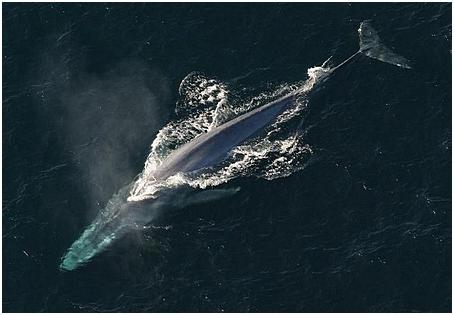 blåvalen
