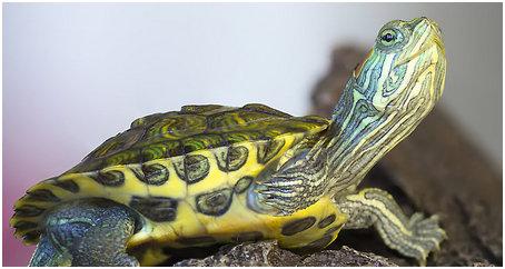 turtlespets