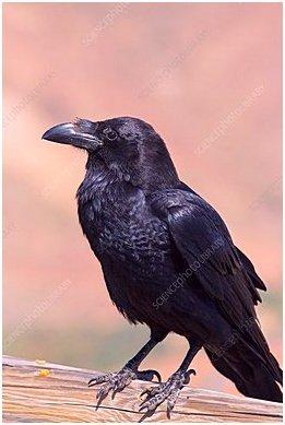 Raven (Corvus corax tingitanus)
