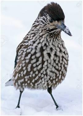 Bird Nutcracker closeup on the Yamal Peninsula