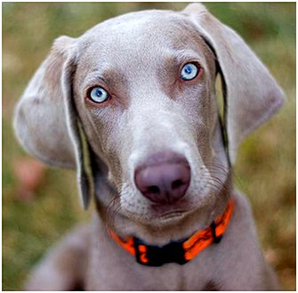 Weimaraner puppy outdoors with bright blue eyes.