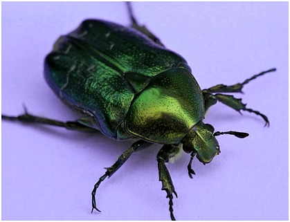 grasgrCetonia aurata1