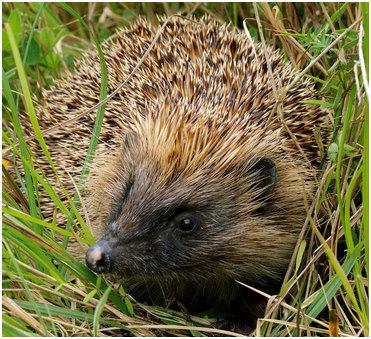hedgehog-in-grass