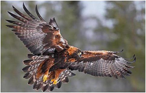 eag berkutasiatisk golden eagle