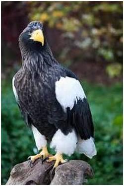 eagSteller's Sea Eagle