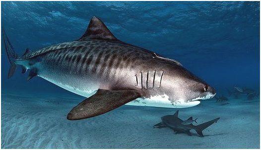 hajTiger Shark