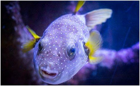 gif2Puffer fish