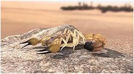 gifNordafrikansk tjocksvansskorpion
