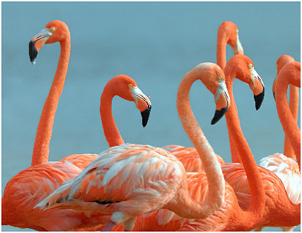 faglstörre flamingo