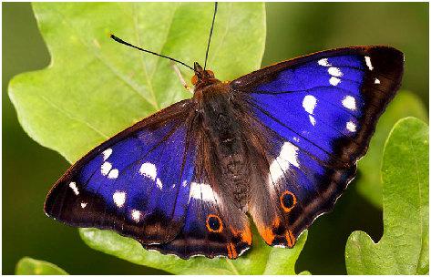 purple-emperor-butte