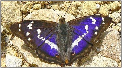 Purple emperor2