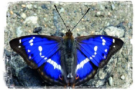 Purple emperorbl