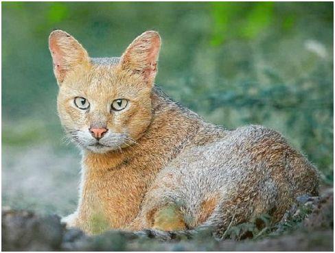 djungle-cat-2